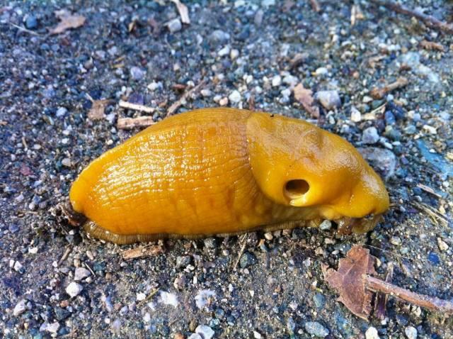 Mr. Banana Slug